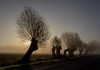 Pollarding - A line of pollarded willows in Germany