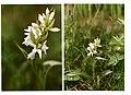 Dactylorhiza majalis albino 2.jpg