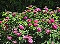 Damaszener-Rose 2019.jpg