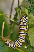 Danaus plexippus caterpillar.jpg