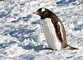 Danco Island Antarctica Gentoo Penguin (46422047385).jpg