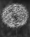 Dandelion (14350725054).jpg