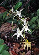 Darwin's Orchids (Angraecum sesquipedale) (7637504818).jpg