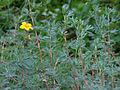 Dasiphora fruticosa (15198179156).jpg