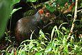 Dasyprocta leporina in Dominica-2011 11 05 0154.jpg