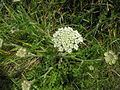 Daucus carota plant.jpg
