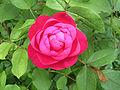 David Austin Rose Benjamin Britten.jpg