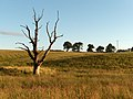 Dead tree near Culticheldoch - geograph.org.uk - 201692.jpg