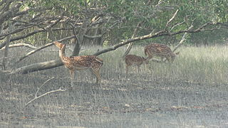 Deer in Sundarbans 02.JPG