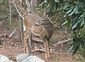 Deer in the backyard just before eating rhododendron leaves.jpg