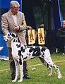Den danske Hund - Harlekin tæve og årets guldhund 2003.jpg