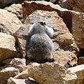 Denali National Park Marmot 800px.jpg