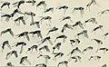 Der Ornithologische Beobachter (1912) (20676736849).jpg