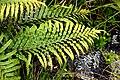 Deschampsia cespitosa in Auckland Botanic Gardens.jpg