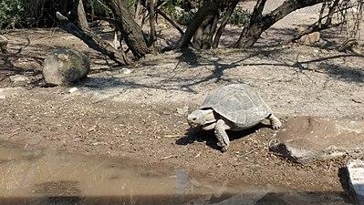 Desert tortoise near Saltillo, Mexico.jpg
