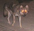Desert wolf 3.png