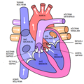 Diagram of the human heart (cropped) az.png