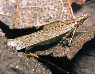Gelechiidae - Dichomeris ligulella
