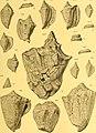 Die fossilien von Java auf grund einer sammlung von Dr. R.D.M. Verbeek und von anderen; (1891) (20294518084).jpg