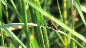 File:Dioctria atricapilla Balz.ogv