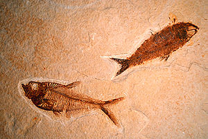 Green River Formation - Diplomystus (left) and Knightia (right), two fossil fish from one of the lake beds in the Green River Formation