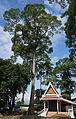 Dipterocarpus alatus (Chiang Mai).jpg