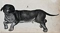 Dog with congenital defects. Lithograph. Wellcome V0022910EBL.jpg
