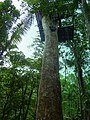Dominica, Karibik - Starting in the Treetops - panoramio.jpg