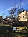 Dorfkirche Caputh Luthereiche.jpg
