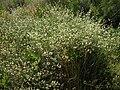 Dorycnium pentaphyllum 2.jpg