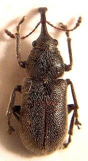 Nemonychidae Family of beetles