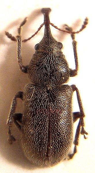 Nemonychidae - Doydirhynchus austriacus
