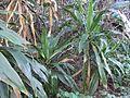 Dracaena aletriformes group.JPG