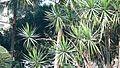 Dracaena marginata (357026165).jpg
