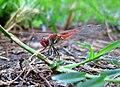 Dragonfly tk 2009 02.jpg