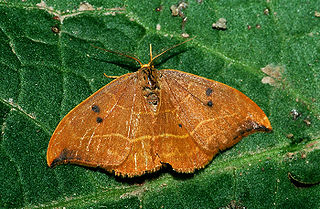 Oak hook-tip Species of moth