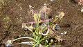 Drosera intermedia repas de libellules FBE 2018-05-18.jpg