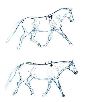 Collection (horse) - Collection (top) raises the back and the forehand, so that the horse carries more weight on his hindquarters. Compared to a trot that is simply shortened, but not collected (bottom).