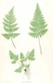 Dryopteris dilatata Moore25.png