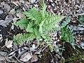 Dryopteris filix-mas (Dryopteridaceae) 03.jpg