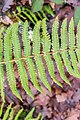 Dryopteris filix-mas in Aveyron (2).jpg