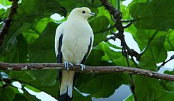 Ducula bicolor -perching on a branch-8.jpg