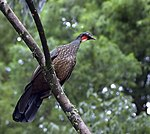 Dusky-legged Guan (Penelope obscura) -on branch.jpg