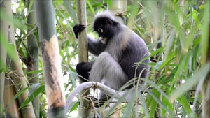 File:Dusky leaf monkey, Trachypithecus obscurus - Kaeng Krachan National Park.webm