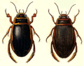 Dytiscus marginalis male-female.png