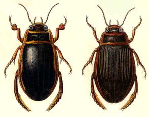 Männchen (links) und Weibchen; Illustration