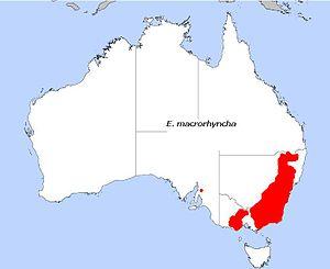 Eucalyptus macrorhyncha - Image: E. macrorhyncha