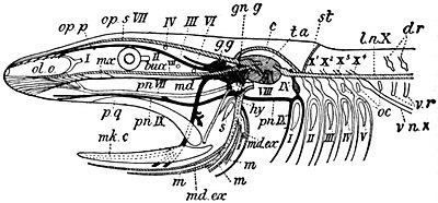 EB1911 Ichthyology - Cranial nerves of a Fish.jpg