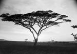 ETH-BIB-Schirmakazie in der Serengeti-Kilimanjaroflug 1929-30-LBS MH02-07-0487.tif