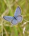 Eastern Tailed-Blue (Cupido comyntas) - Guelph, Ontario 01.jpg
